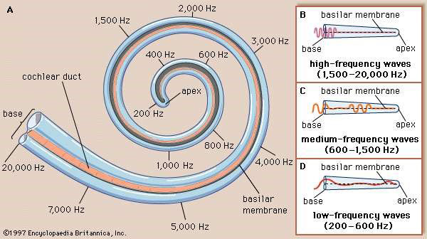 Figure 2: The Anatomy of the Cochlea from the Audio Processing Perspective